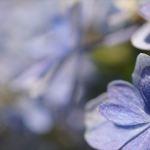 念仏寺 紫陽花